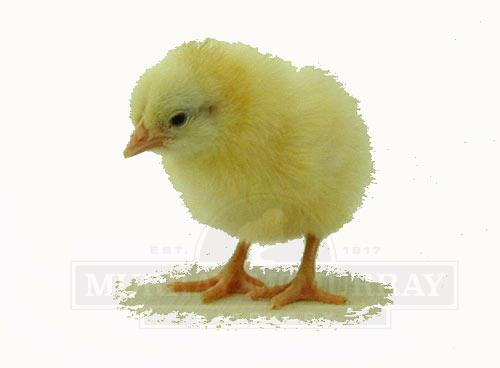 Murray McMurray Hatchery - Pearl-White Leghorn