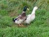 McHurray Hatchery Welsh Harlequin Duck